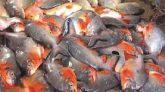 কাজির বাজারে ২ হাজার কেজি পিরানহা মাছ জব্দ, জরিমানা